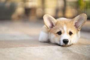 Dog looking sad and ill