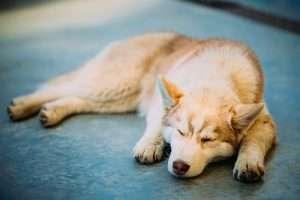 Dog asleep and looking ill